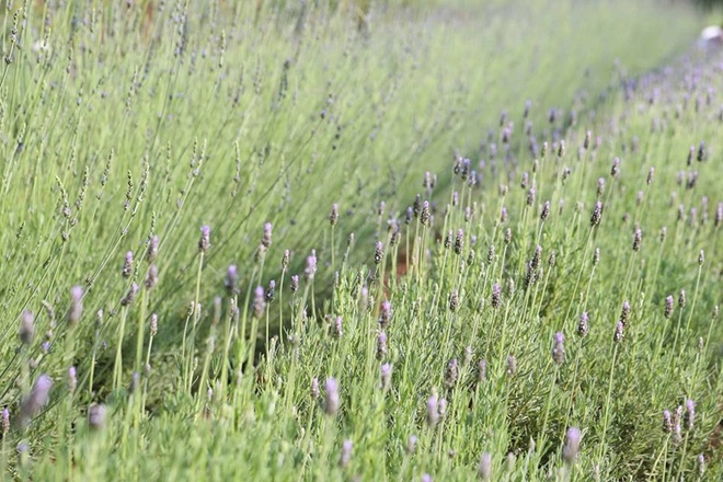 lavender-field-at-the-heart-of-da-lat