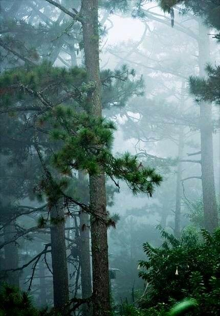 A pine forest in the rain